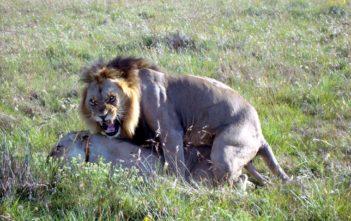 Löwenpaar beim Paarungsakt