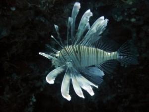Ansicht eines Lionfishes