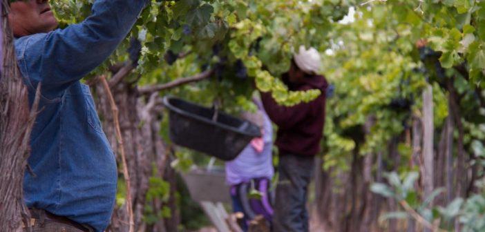 Weinlese in der Cavas Wine Loft