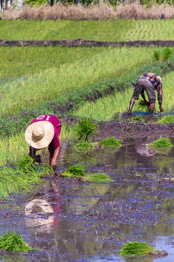 Philippinische Reisbauern