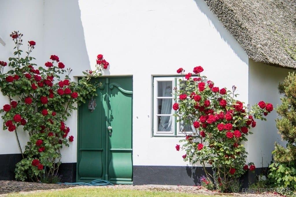 Rosenstock eines Reetdachhauses