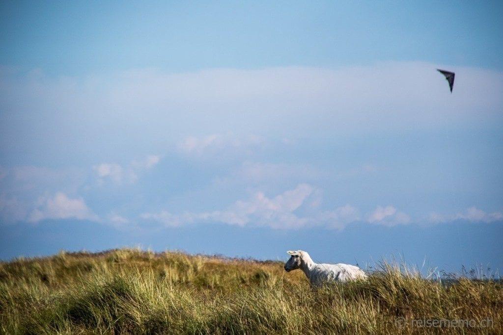 Schaf im Ellenbogen Sylt