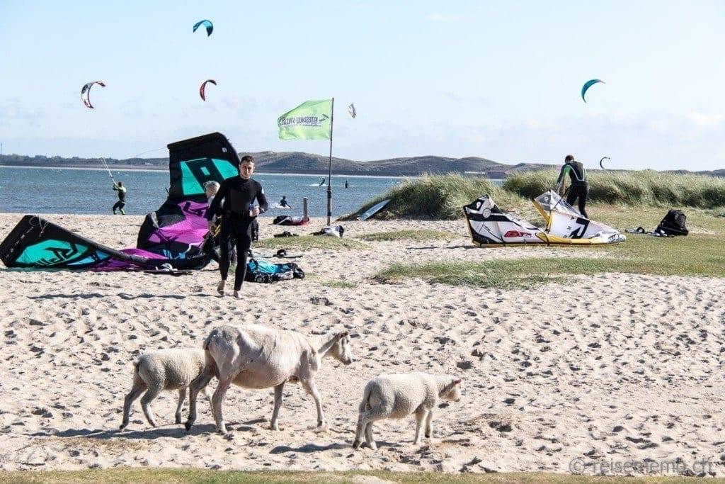 Schafe und Kitesurfer am Strand von Ellenbogen Sylt