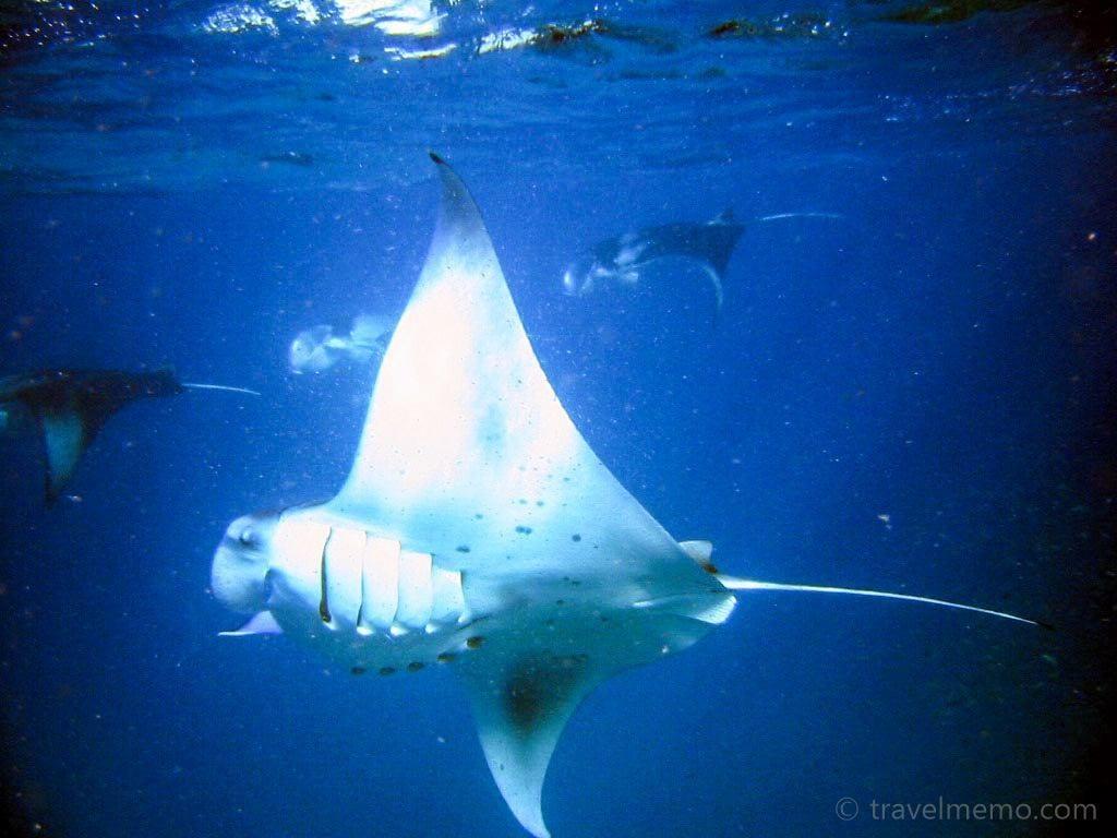 manta-ray-maldives-10