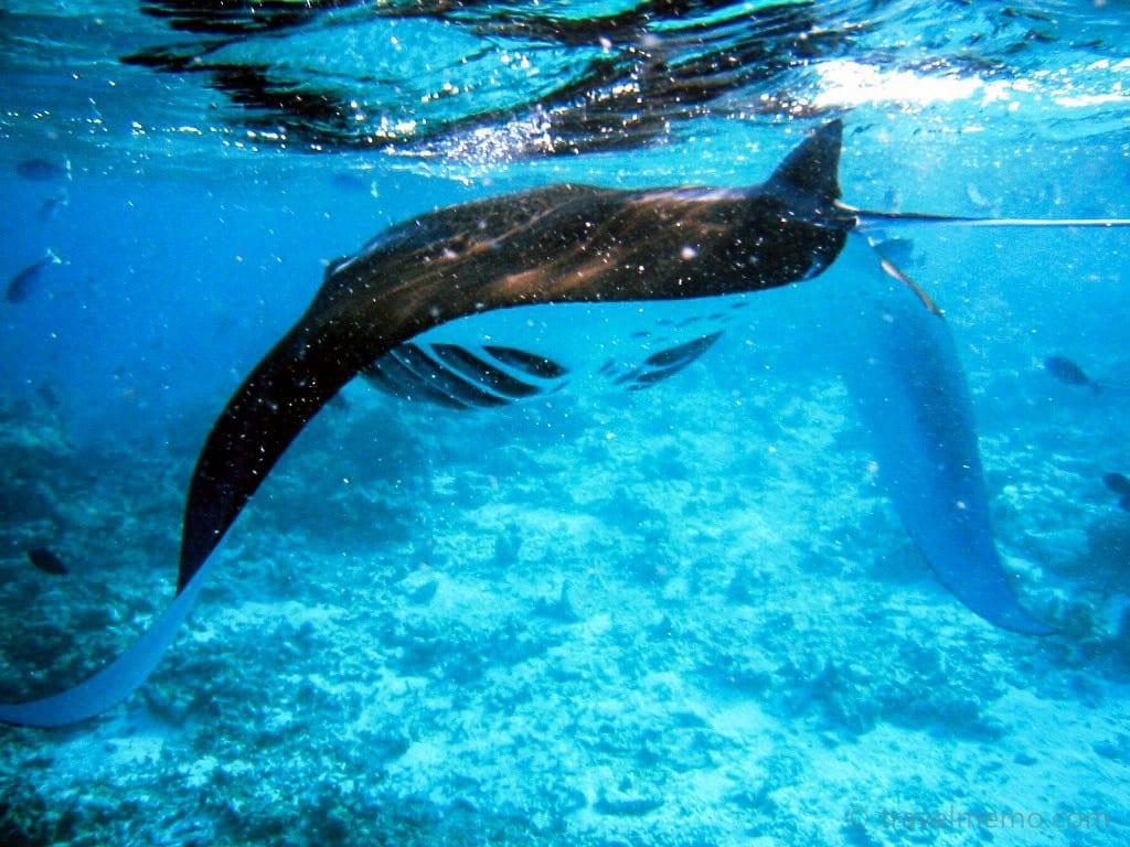 manta-ray-maldives-16