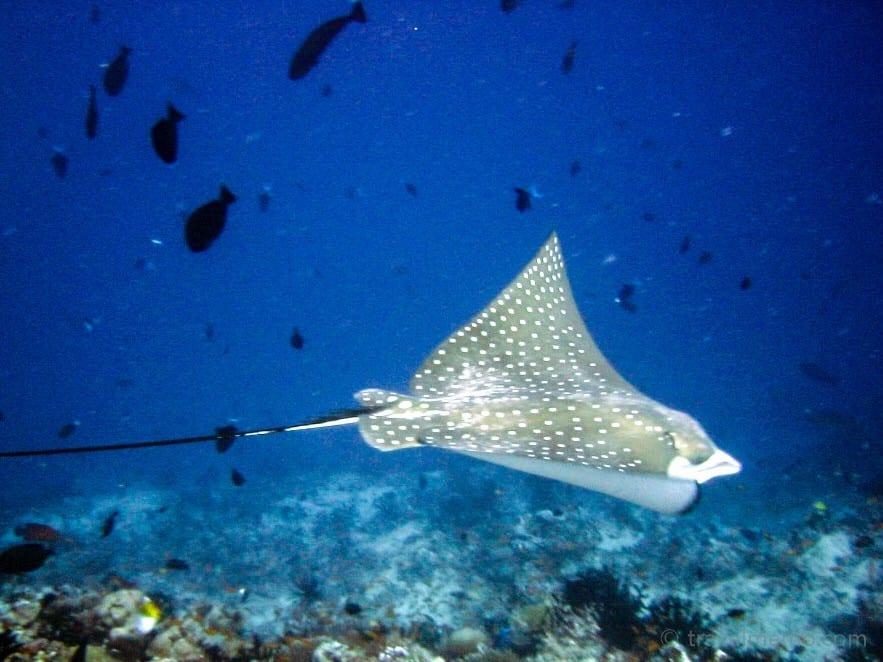 manta-ray-maldives-6