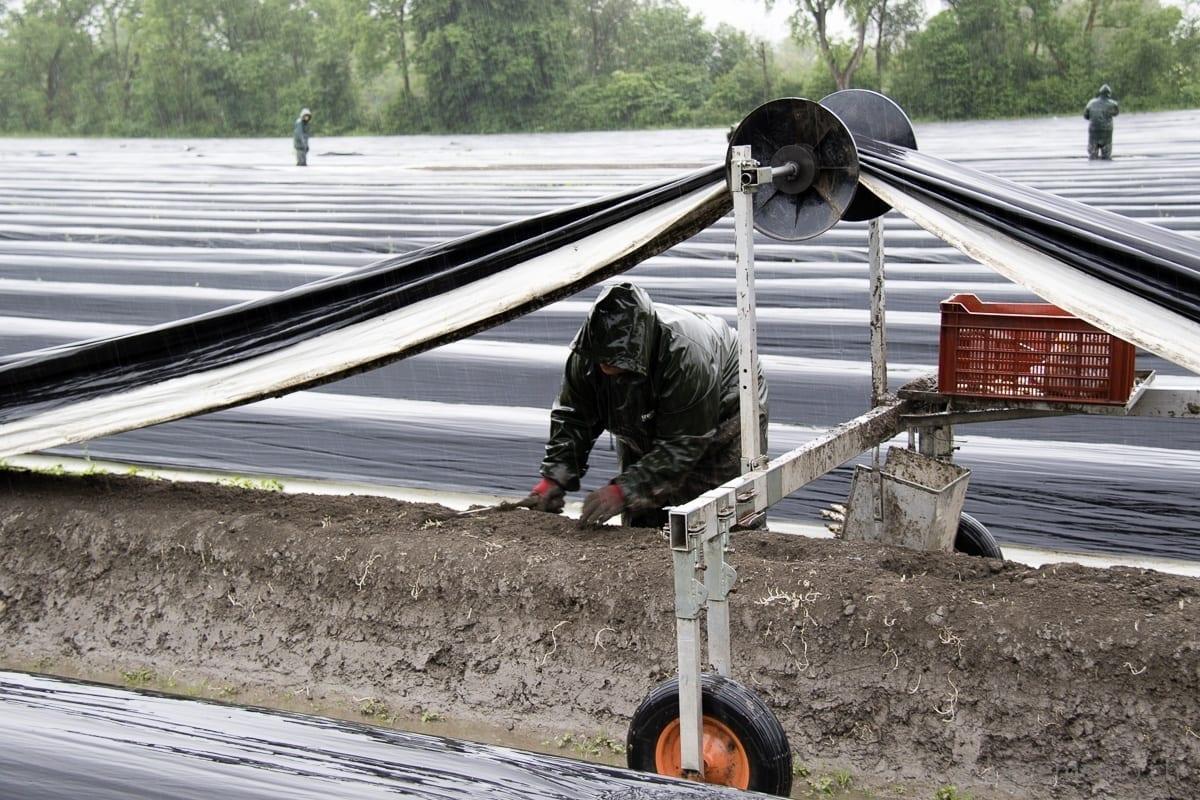 Spargeln stechen im Regen unter schützender Folie in Diepoldsau