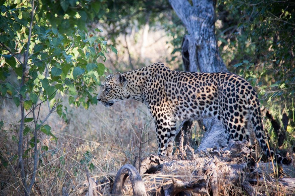 Moremi Wildreservat Botswana