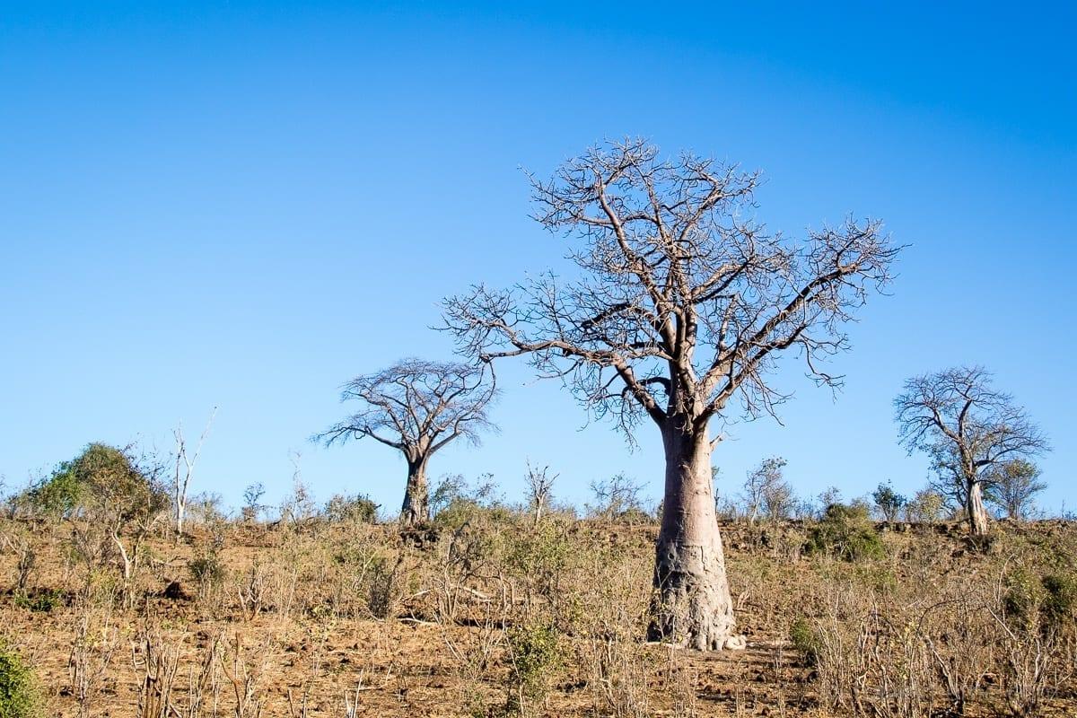 Baobab Bäume im Chobe Nationalpark
