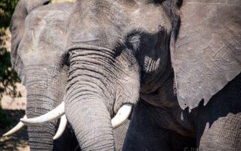 Elephanten Botswana