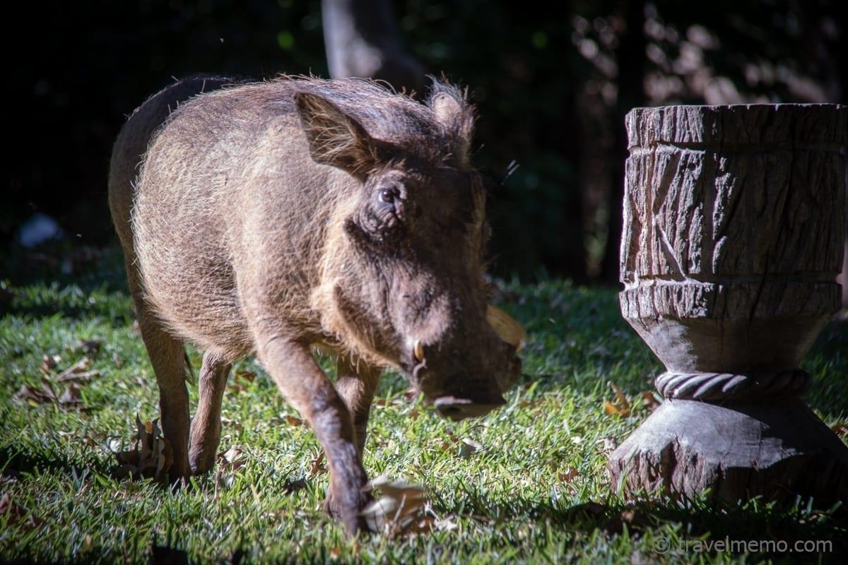 Warzenschwein Victoria Falls