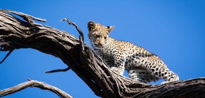 Junger Leopard auf Baumast im Moremi Wildreservat