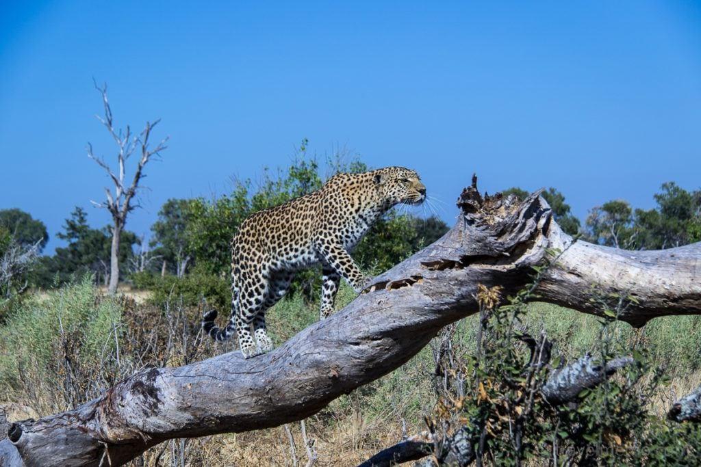 Moremi Game Reserve Botswana