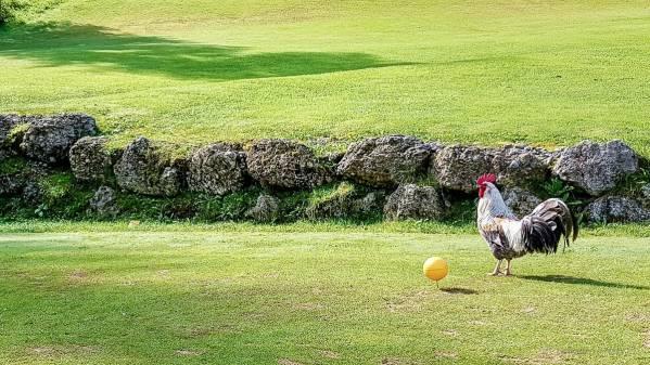 Hahn am Abschlag des Golfplatzes