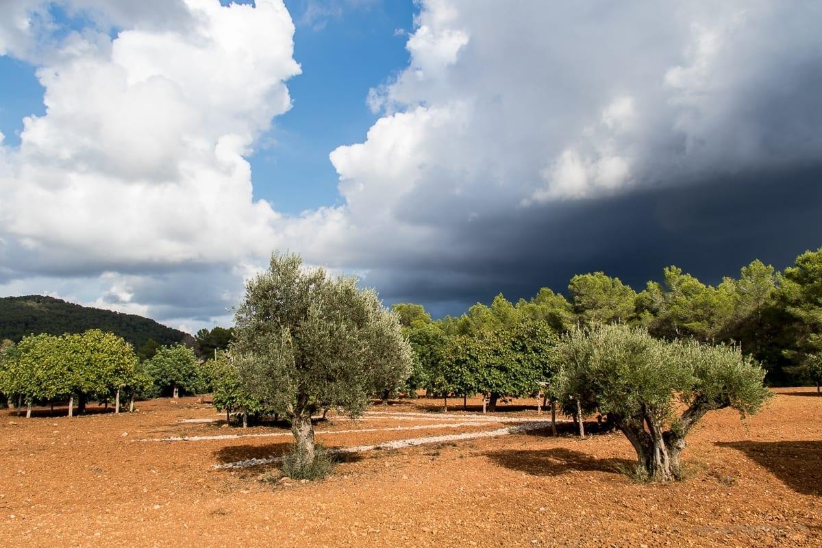 Olivenbäume im Garten