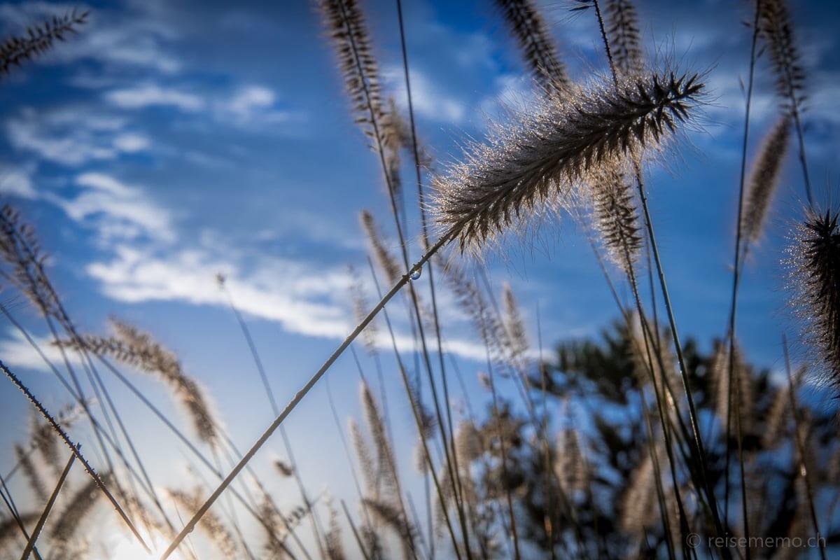Korn in der Sonne