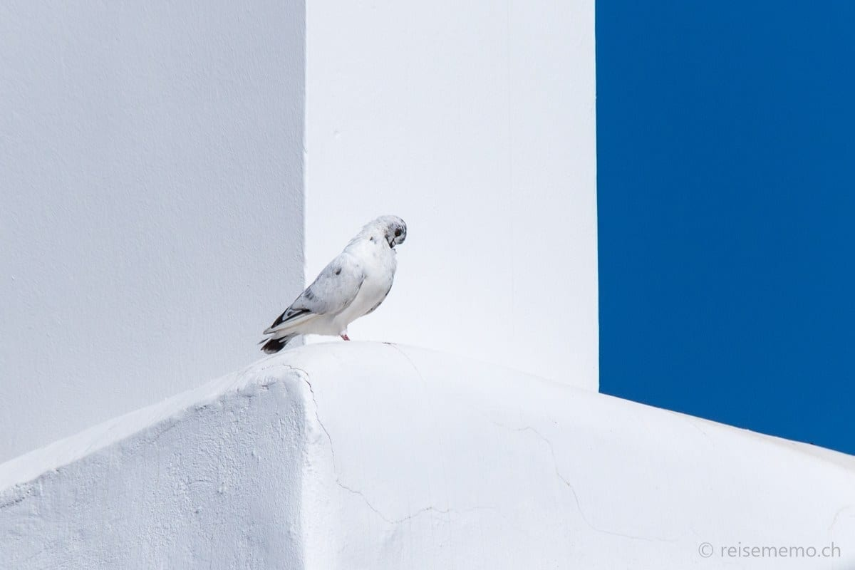 White pigeon in Ibiza Town