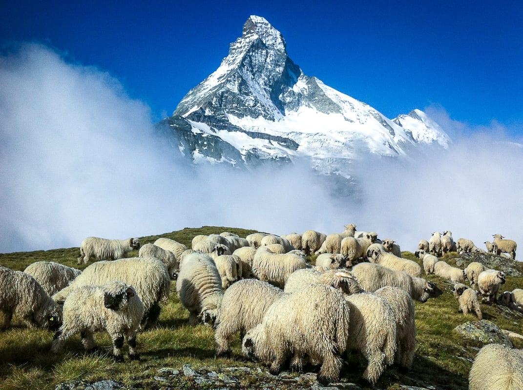 Schwarznasenschafe vor dem Matterhorn gemäss Paul Julen