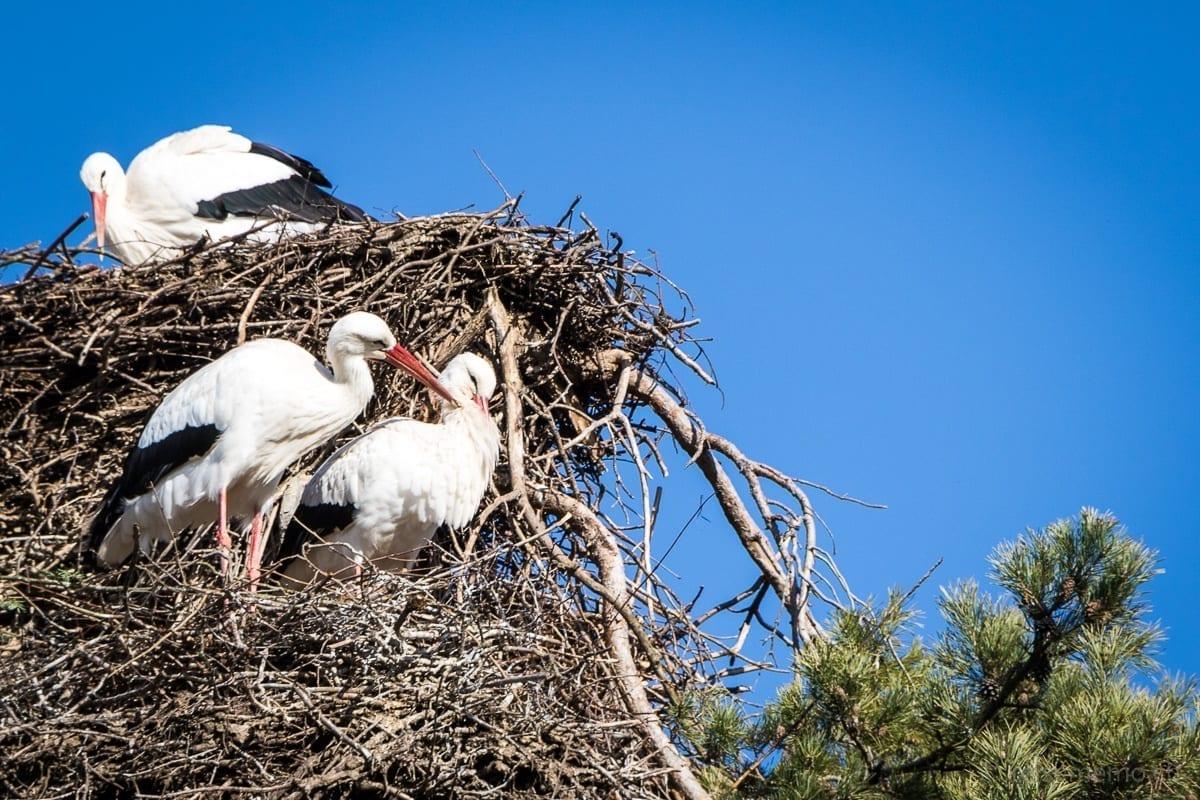 Storchenpaar in Uznach