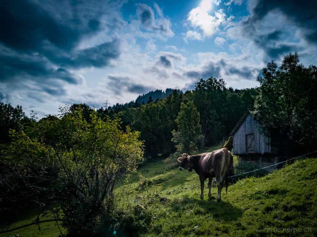Kuh auf dem Weg zum Talalpsee