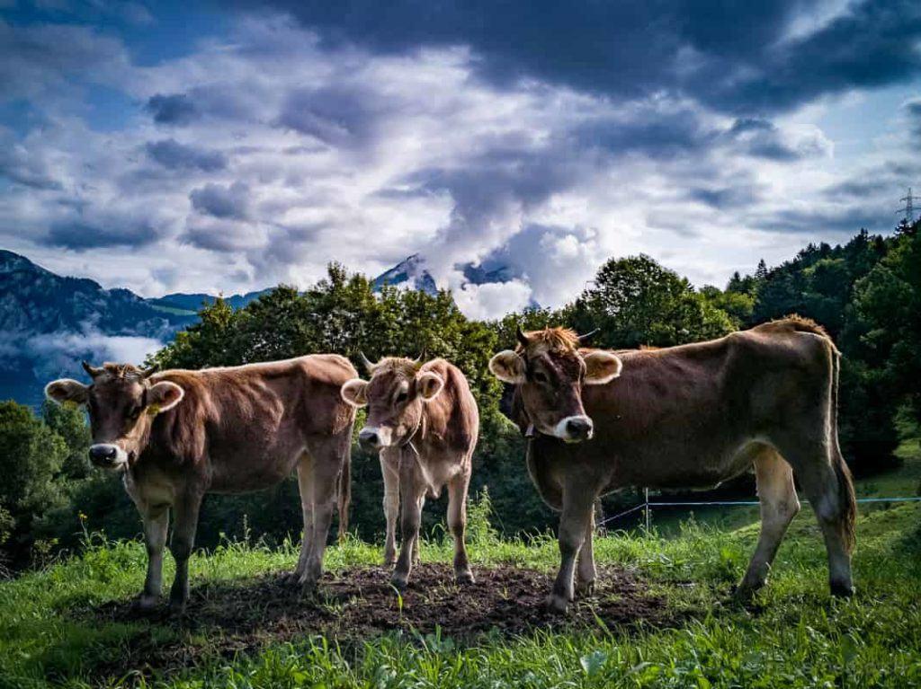 Rinder auf dem Weg zum Talalpsee