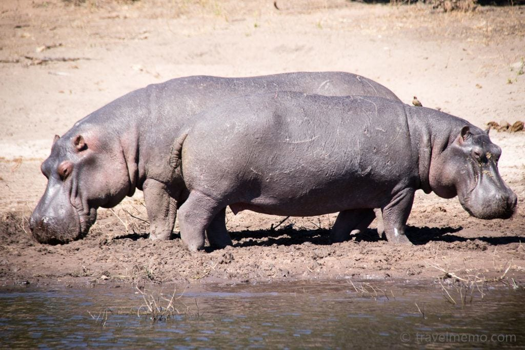 Flusspferde Chobe Nationalpark