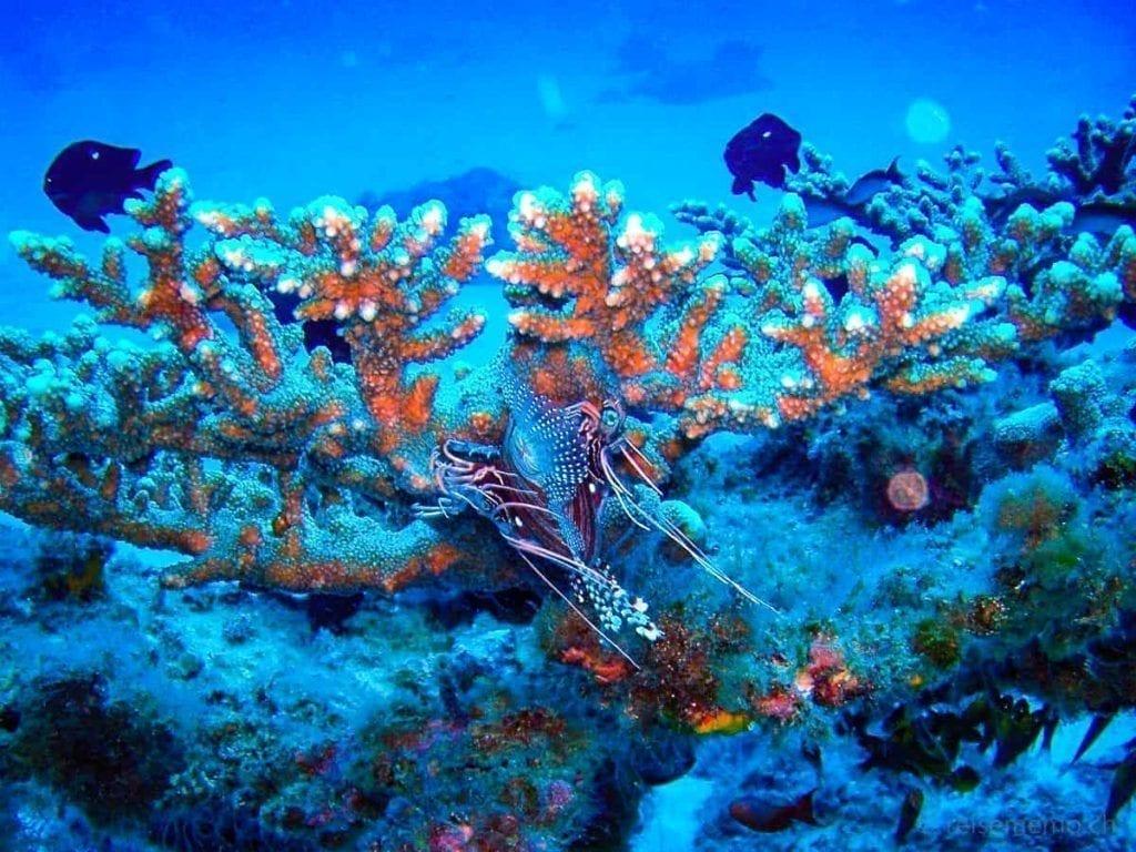 Feuerfisch im Korallenriff vor Mauritius