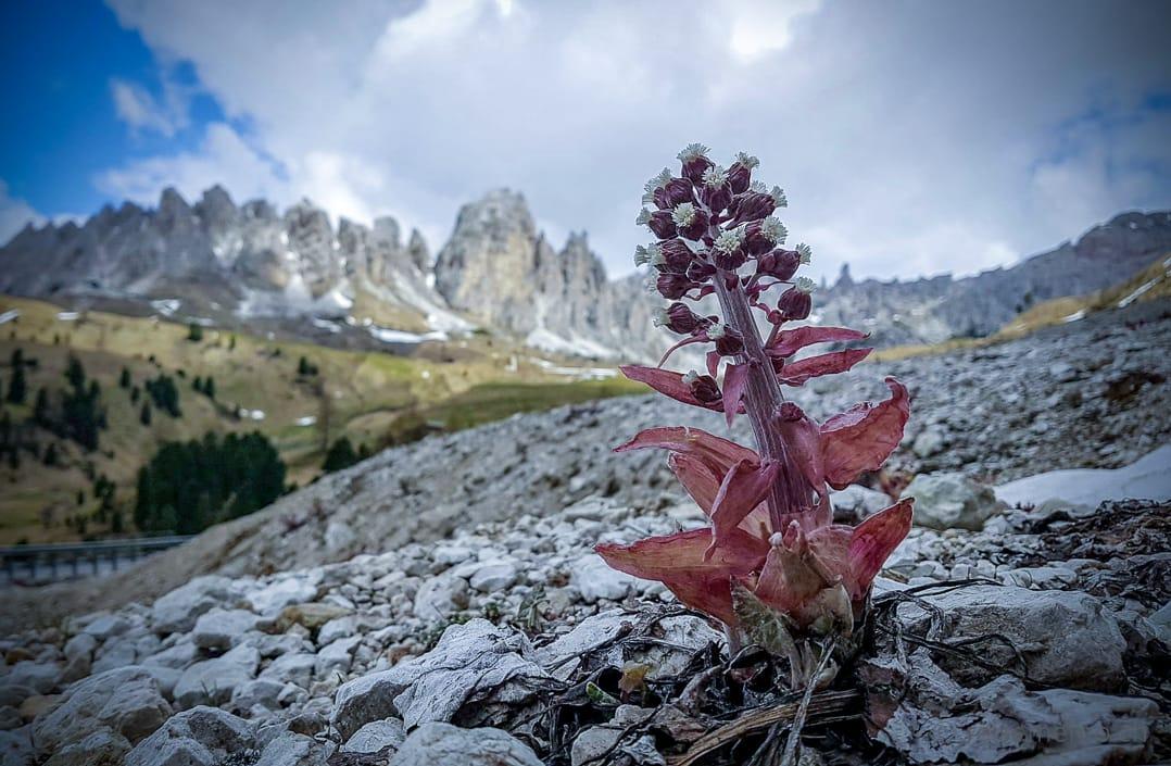 Alpenblumen Grödnerjoch