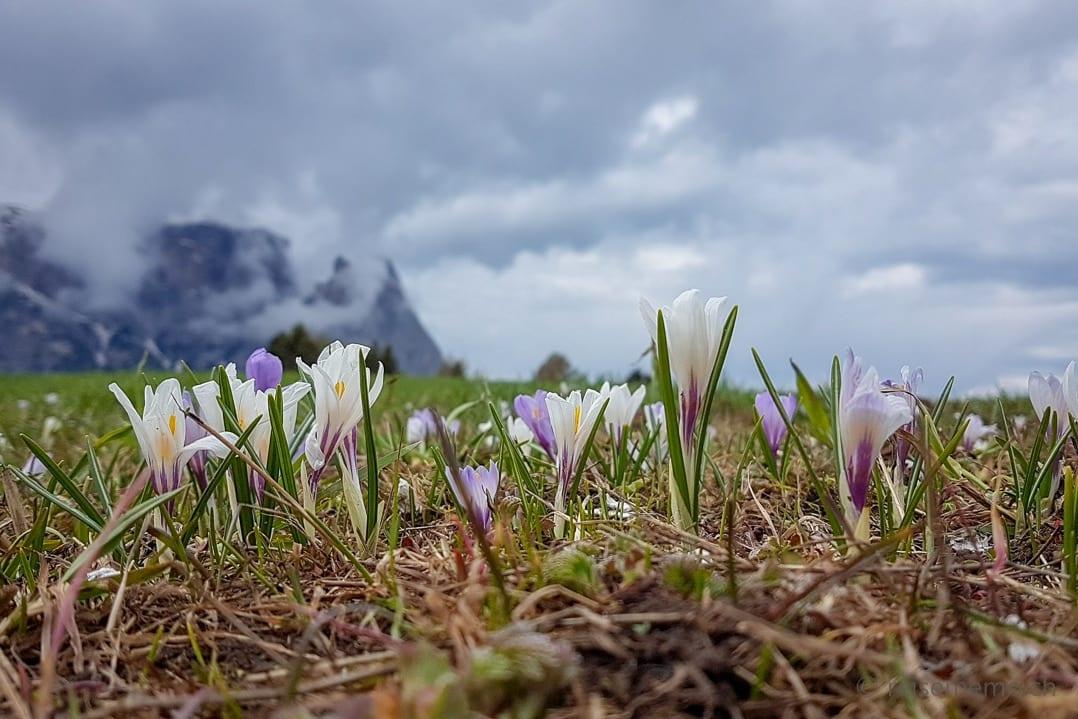 Alpenblumen im Hintergrund der Schlern