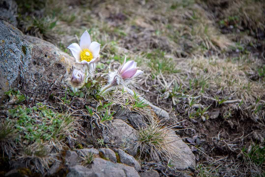 Alpenblumen Seiser Alm