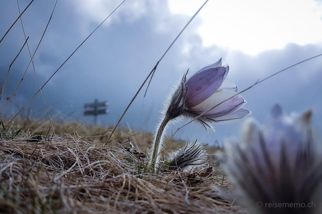 Bergblume auf der Seiser Alm