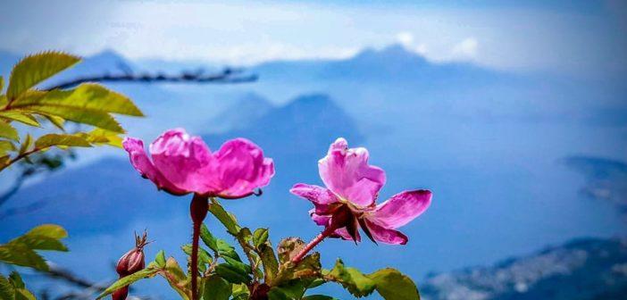 Blumen auf der Glettialp