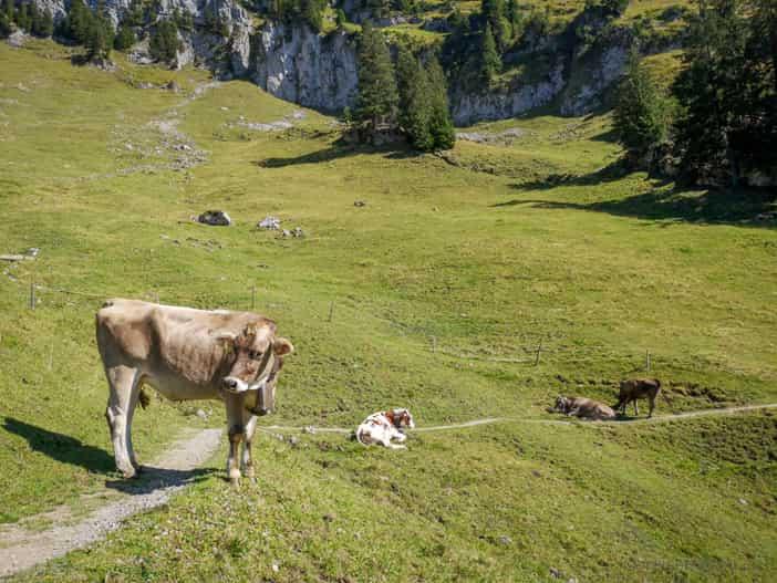 Kuh auf dem Gulmen