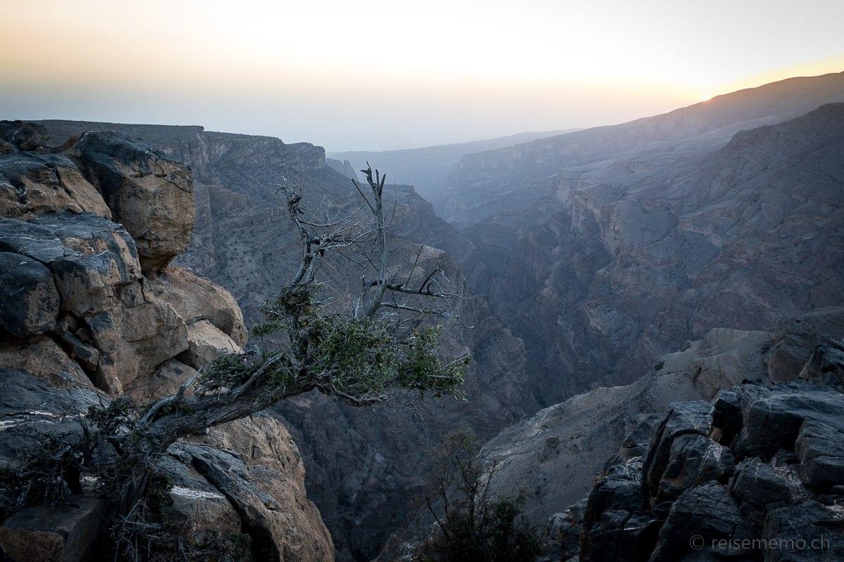 Knorriger Baum vor dem Hotel-Canyon im Alila Jabal Akhdar