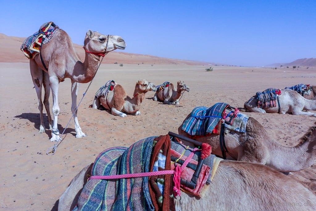 Dromedare im Desert Nights Camp