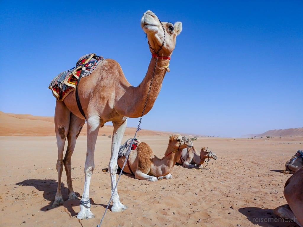 Dromedare für einen Kamelausritt im Deserts Night Camp