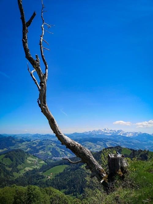 Abgestorbener Baum vor dem Säntis im Hintergrund