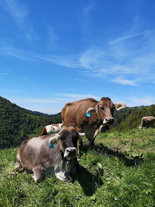 Kühe am Wegrand der Rundwanderung
