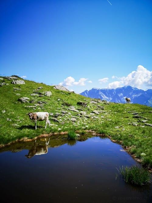 Rinder auf der Chüebodenalp