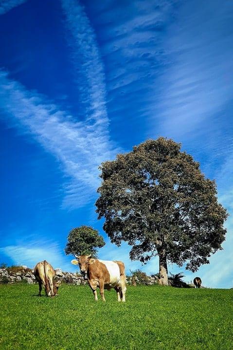 Kühe am Wanderweg zum Gräppelensee