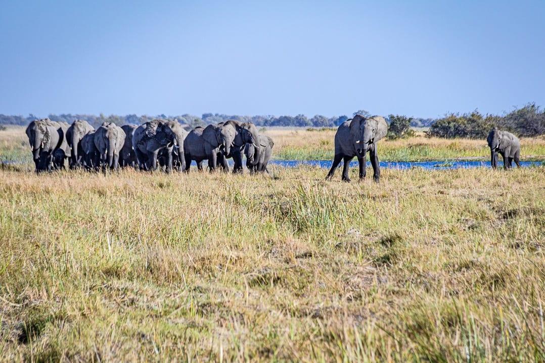 Elefantenherde nach Flussüberquerung in Linyanti im Okavangodelta