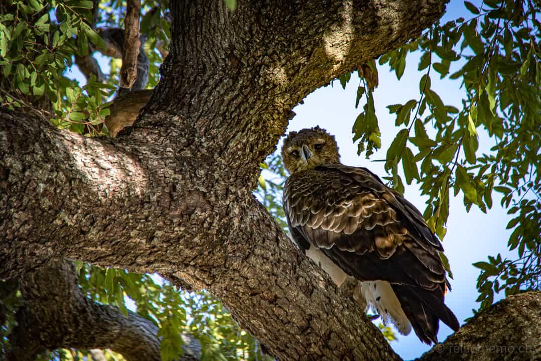 Eule auf Baum in Linyanti