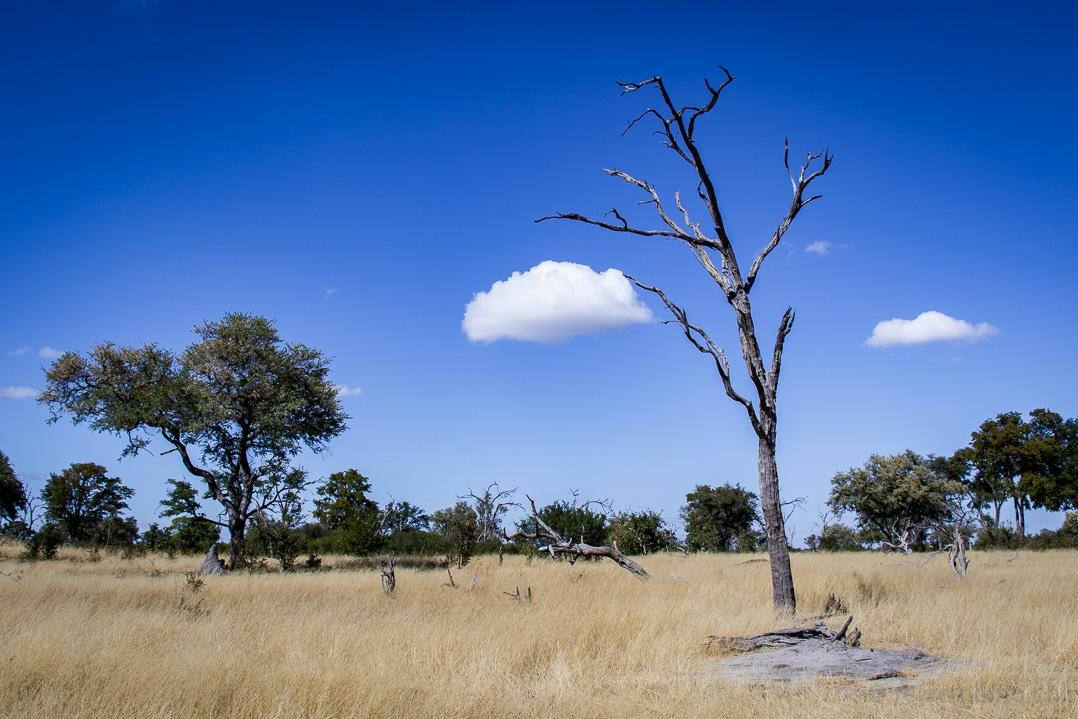 Toter Leadwood Baum bei einer Linyanti Safari