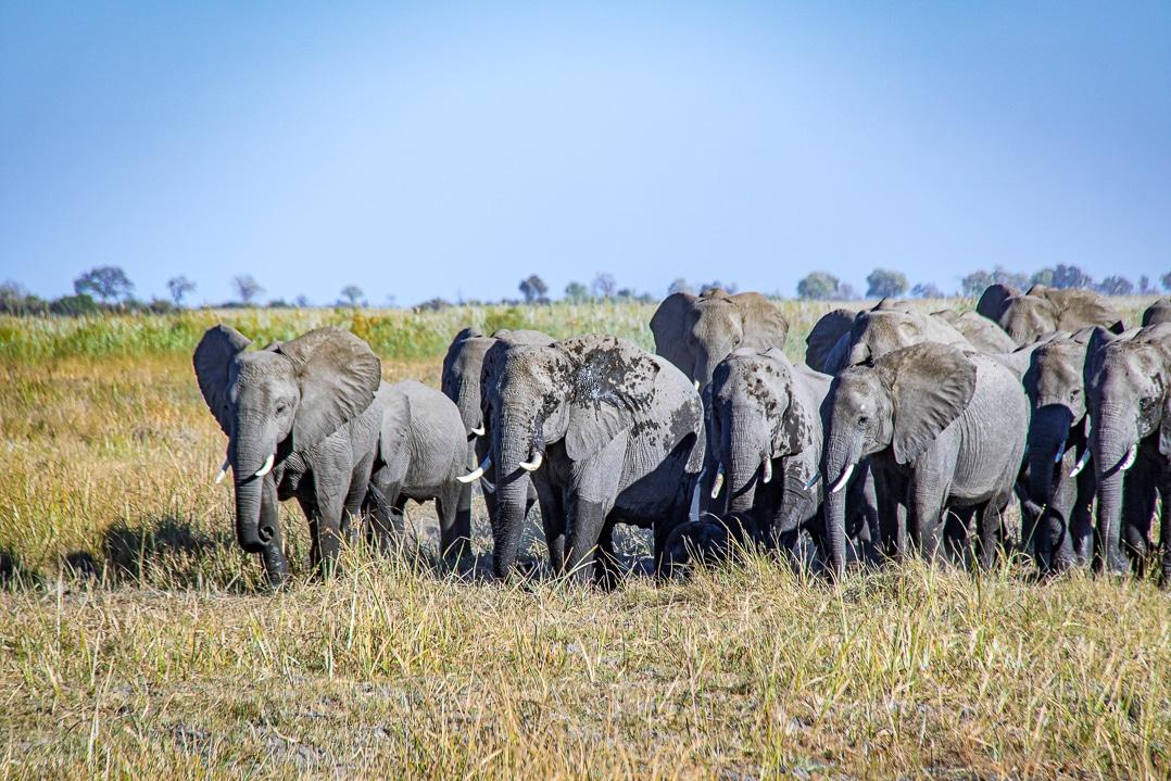 Halbnasse Elefantenherde im Linyanti Reservat