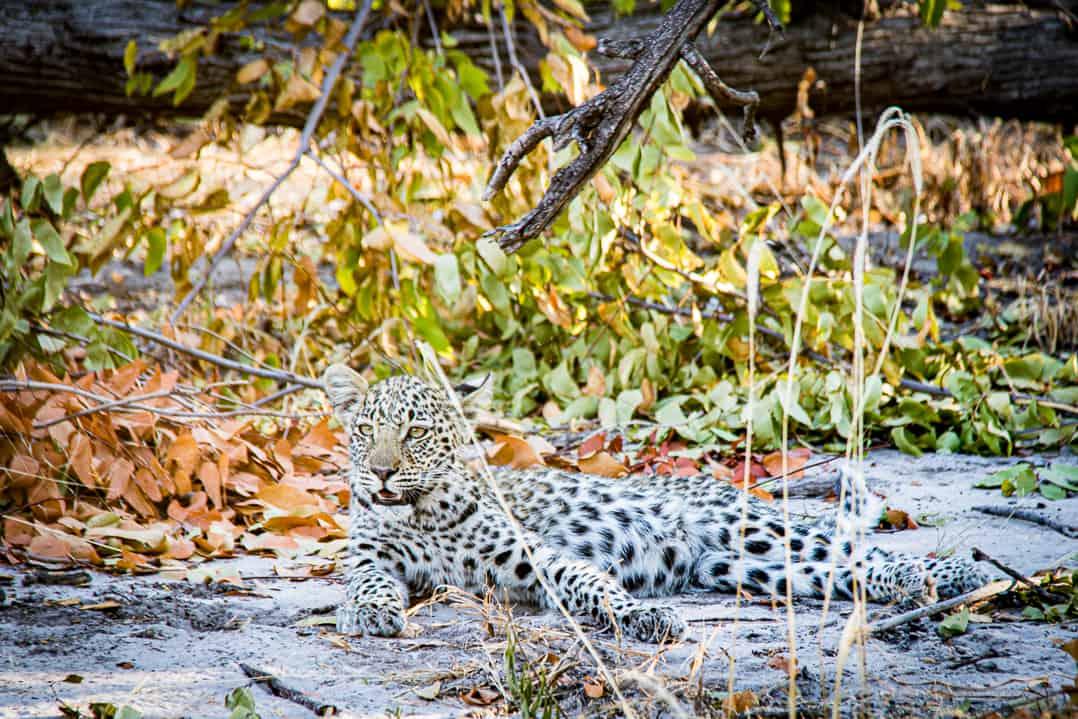 Leopardenjunges im Linyanti im Okavangodelta Botswanas
