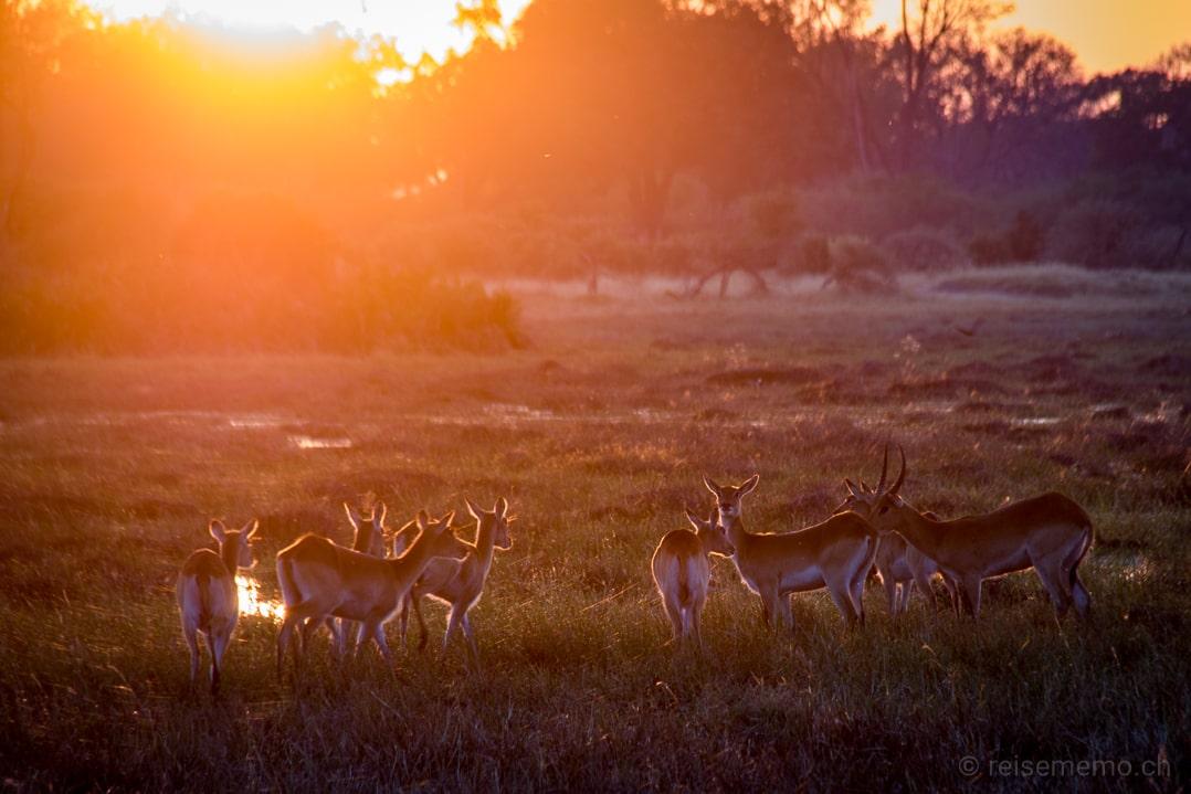 Impalas im Sonnenaufgang vor dem Little Mombo Camp