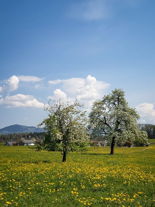 Frühlingswiese oberhalb von Rapperswil-Jona