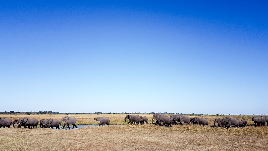 Linyanti-Elefanten im Okavango