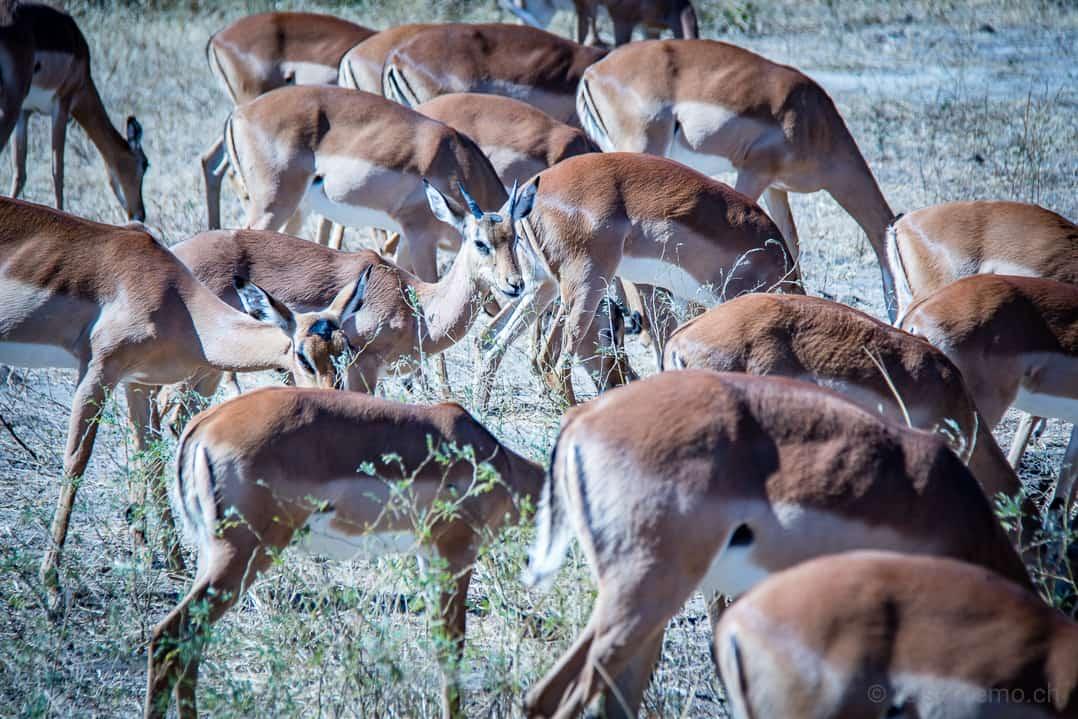 Grasende Impalas