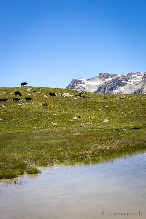 Kühe am Lejin Rhodonit